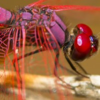 Blood-Red Dragonfly