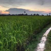 Nightfall Over Rice Field