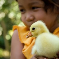 Yellow Little Duckling